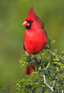 CardinalAMmd
